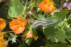 Caterpillars som äter gräsplan, lämnar Arkivfoto