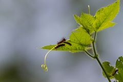 Caterpillars of Tawny Castor butterfly stock image