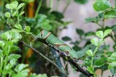 Caterpillars on trees Stock Photos