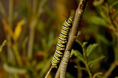 Caterpillars Stock Image