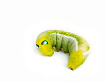 Caterpillars. Royalty Free Stock Images