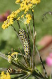 caterpillarswallowtail royaltyfria foton