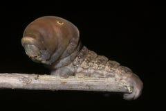 caterpillarswallowtailtiger royaltyfri bild