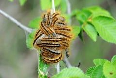caterpillarszigenaremal Arkivfoto