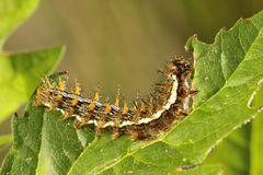 Caterpiller Stock Photography