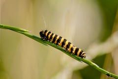 Caterpiller. Climbs a grass stalk Stock Photo