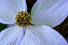 Caterpiller on Flowers. Caterpillar on white Dogwood blossom bracts stock photos
