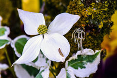 Caterpiller Kousa Dogwood. Caterpillar crawls up white Kousa Dogwood blossom bract royalty free stock photos