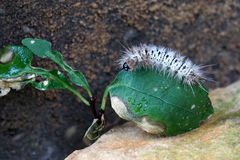 Caterpiller on a Leaf. A white and black caterpillar lounges on a leaf Royalty Free Stock Photo