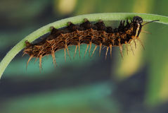 Caterpiller of the Silverwashed fritillary. (Argynnis paphia royalty free stock photo