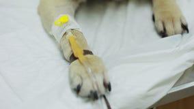 Catetere nella zampa Cane del carlino in una clinica veterinaria stock footage