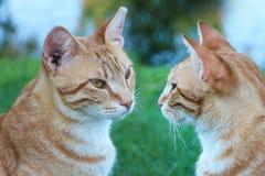 Catfights Gatos no selvagem Foto de Stock