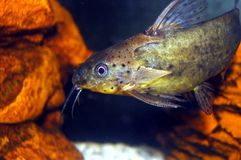 Catfish. (Featherfin Syno) with orange rocks and white gravel Royalty Free Stock Images