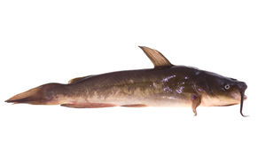 Catfish. Small lively catfish lies on white background Royalty Free Stock Photo