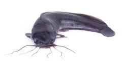 Free Catfish Royalty Free Stock Photo - 17669825