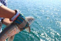 catfish Immagini Stock Libere da Diritti