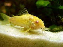 Catfish. Albino Corydora Stock Image