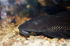 Catfish in aquarium Royalty Free Stock Photo