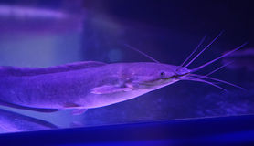 Catfish aquarium Royalty Free Stock Photography