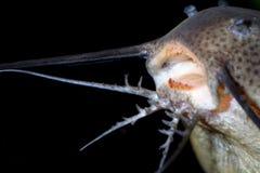 Catfish barbels Royalty Free Stock Images