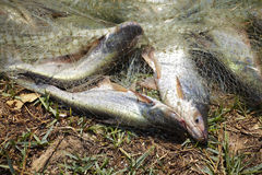 Catfish. Cat fish and grass in sun light Stock Images