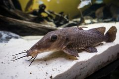 Catfish cleaner laying on the sandy aquarium floor. Large Catfish cleaner laying on the sandy aquarium floor closeup shot Royalty Free Stock Images