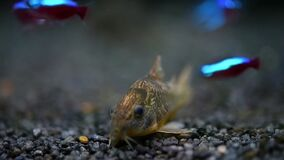 Catfish Corydoras frontal closeup with blurred background.