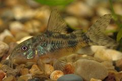 Catfish (Corydoras paleatus) Stock Images