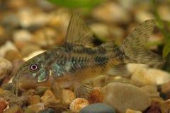 Catfish (Corydoras paleatus) stock images