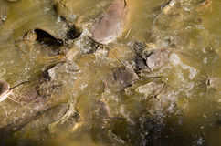 Catfish eating. A shoal of catfish, latin name Siluriformes, eating food thrown to them in a lake in Chiang Mai, Thailand Royalty Free Stock Photography