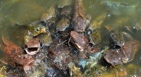 Catfish in farm Stock Photography
