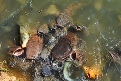 Catfish in farm Stock Photo