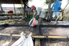 Catfish. Farmers are harvesting catfish on a village in Klaten, Central Java, Indonesia royalty free stock photography