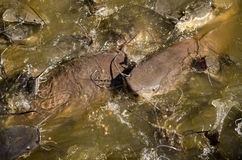 Catfish feeding, Thailand Royalty Free Stock Photography
