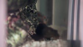 Catfish fish in a home aquarium stock footage