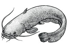 Catfish fish illustration, drawing, engraving, line art, realistic. Catfish, what made by ink, then it was digitalized Stock Image