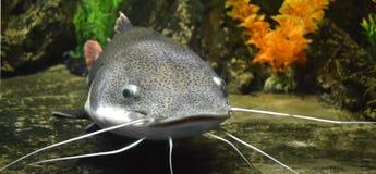 Catfish fish nature Royalty Free Stock Photography