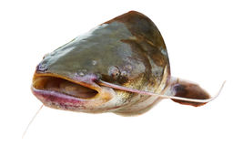 Catfish fish with open mouth Royalty Free Stock Photo