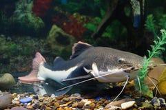Catfish. At the fish tank Stock Photo