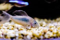 Free Catfish From Genus Corydoras Royalty Free Stock Photos - 154930218