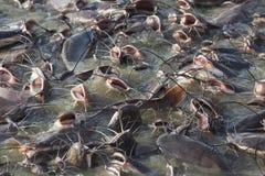Catfish in Gad sagar tank Royalty Free Stock Images