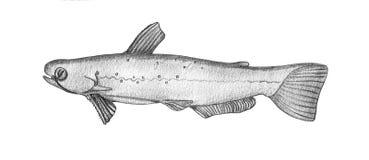 Catfish. Hand drawn realistic illustration.