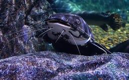 Catfish head Stock Photo