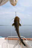 Catfish on a hook Stock Image