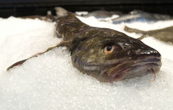 Catfish on ice Stock Photography