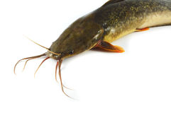 Catfish Stock Photography