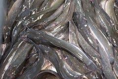 Catfish. Royalty Free Stock Images