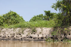 Catfish Nesting Sties Along Riverbank. Along the edge of the green tropical jungle is a brown, muddy riverbank with large holes, where catfish burrow and Stock Photos