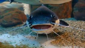 Catfish in the ocean aquarium. Fish from the ocean in the aquarium. Catfish in ocean aquarium. Fish from the ocean in the aquarium royalty free stock photos
