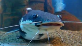 Catfish in the ocean aquarium. Fish from ocean in the aquarium Stock Photo